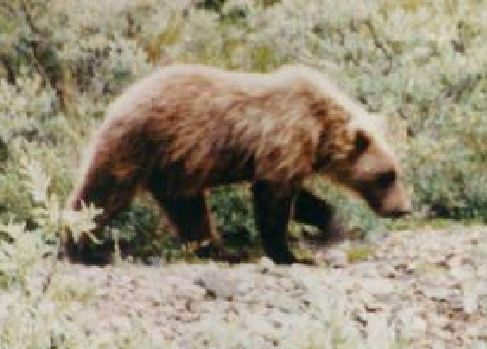 Grizzly, Denali, 1990, Dan Hall