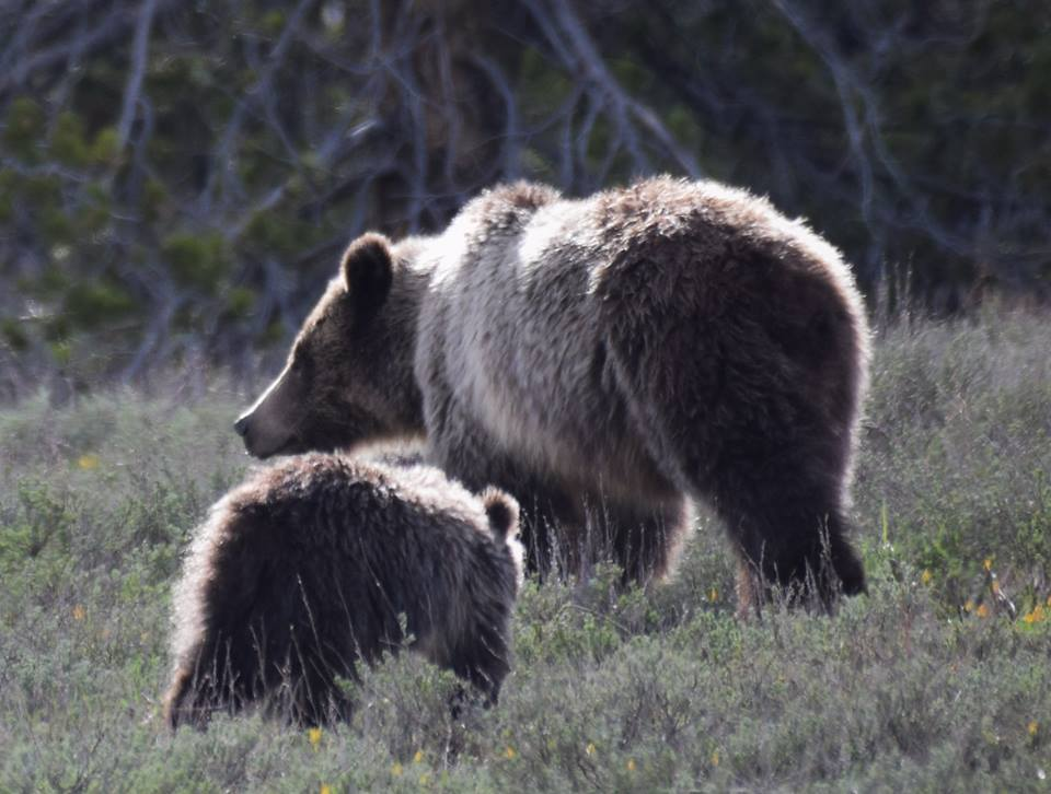 Teton sow grizzly with cub, May 2018