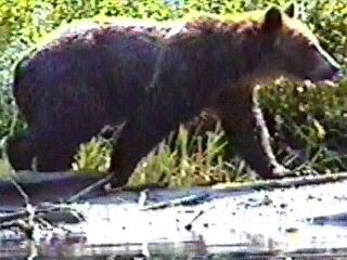 Grizzly in British Columbia 98- Steve