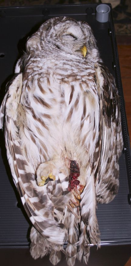 barred owl killed by leghold trap