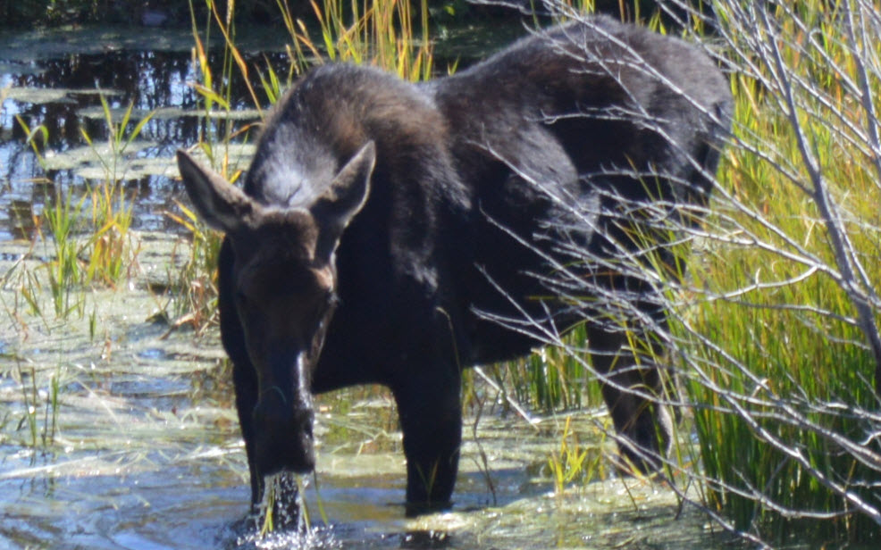 Moose cow, Rocjefeller preserve, Grand Tetons, Sept. 12th