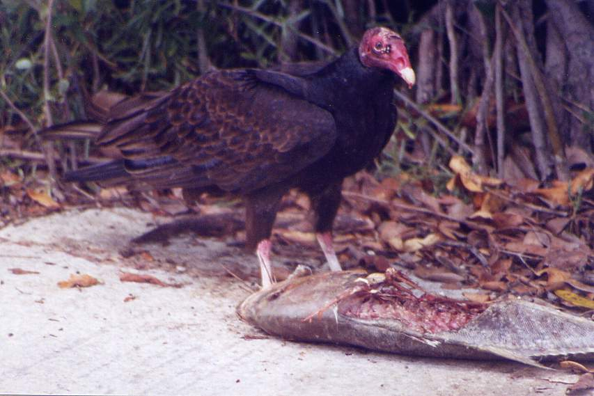 Everglades Turkey Vulture by Steve