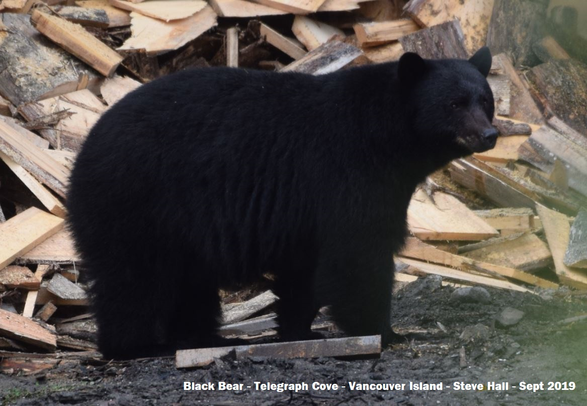 Black bear, Telegraph Cove, Vancouver Island, by Steve Hall, Sept 2019