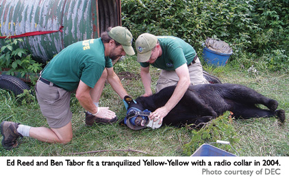 """Yellow-yellow"" being radio collared"